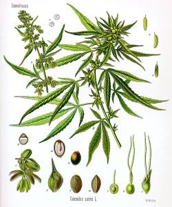 800px-Cannabis_sativa_Koehler_drawing