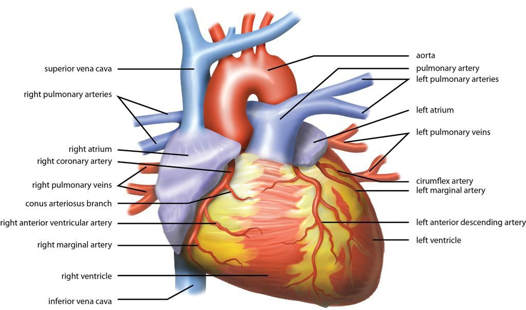 Amazing All The Parts Of The Heart Sketch - Anatomy And Physiology ...